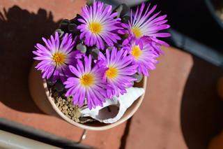DSC_6238 Frithia pulchra フリチア 光玉
