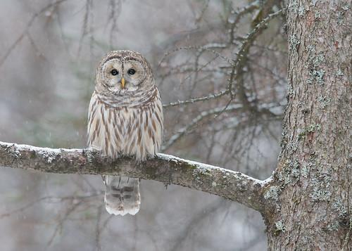 Chouette rayée - Strix varia - Barred Owl