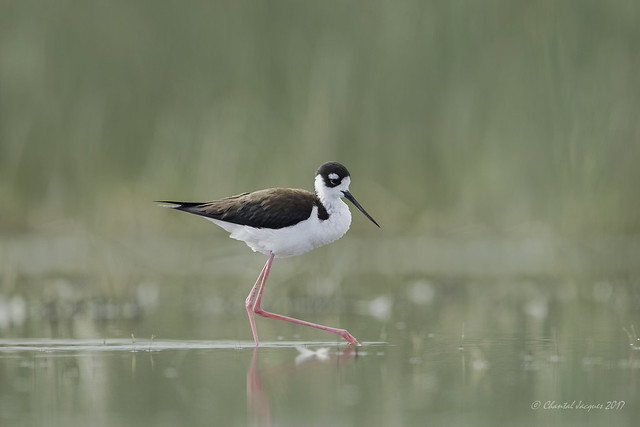 Birding Calgary - Black-necked stilt