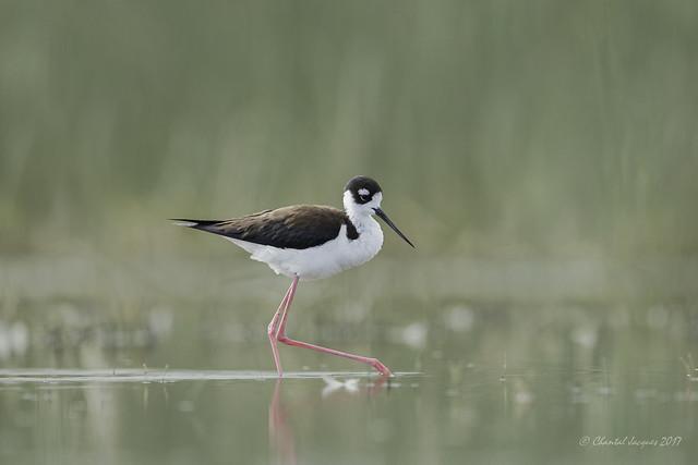 Birding Calgary - Black-necked stilt