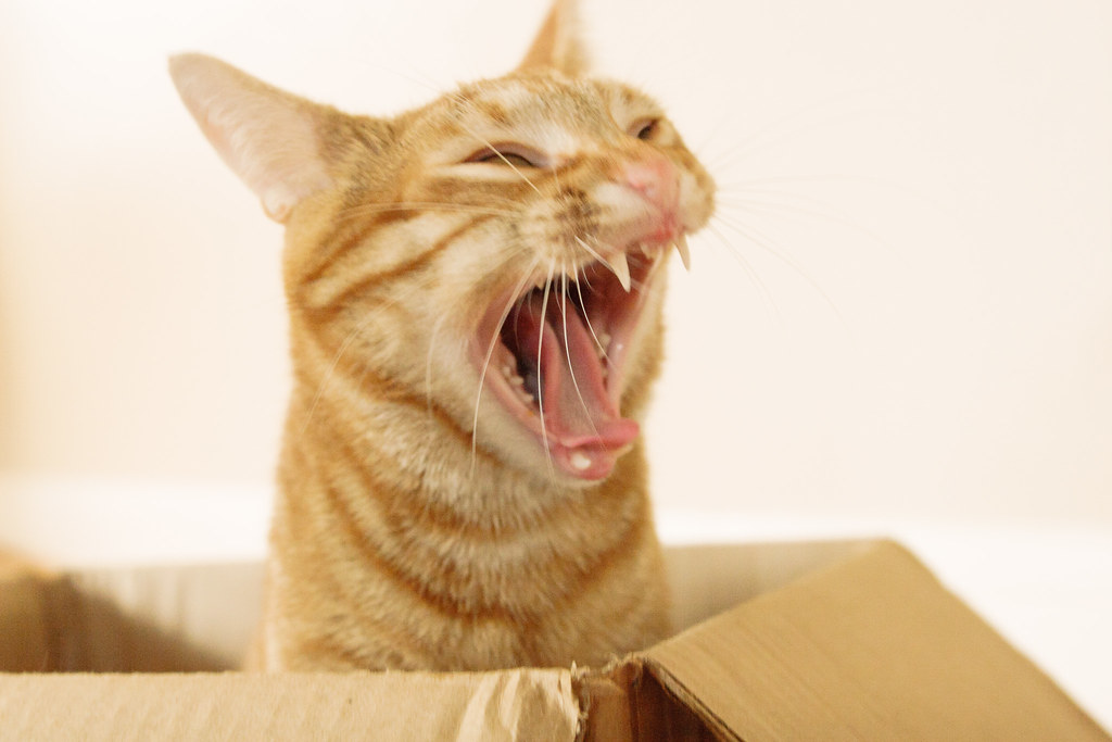 Our cat Sam yawning while playing in a cardboard box