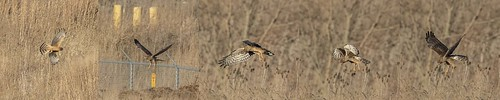 NORTHERN HARRIER ON THE HUNT 12162017