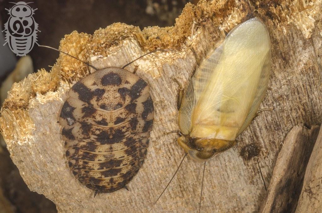 Phortioeca_phoraspoides_0000_Xenoblatta