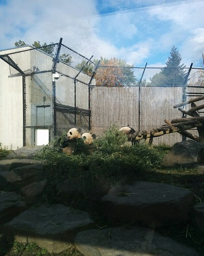 Er Shun, Jia Panpan, Jia Yueyue (1) #toronto #torontozoo #pandas #giantpandaexperience #ershun #jiapanpan #jiayueyue #latergram