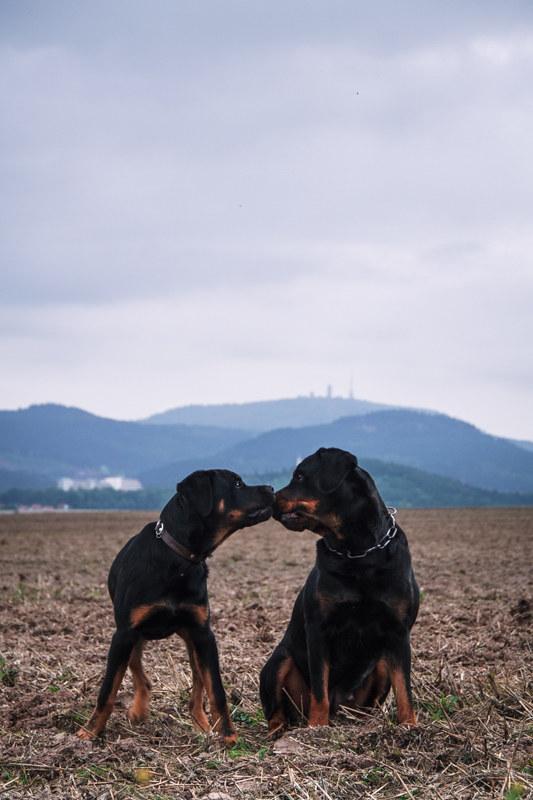 Rottweiler-fotografie-welpe