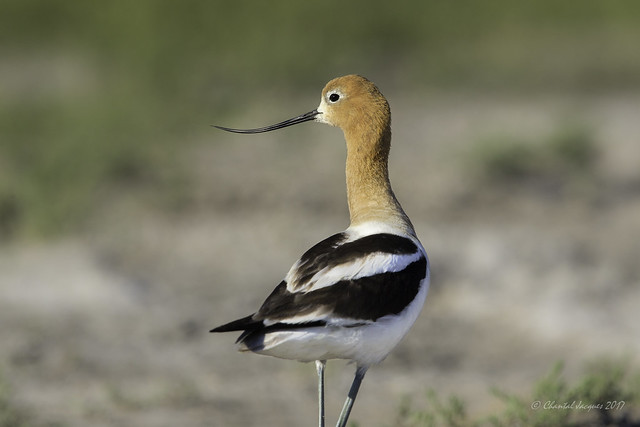 Birding Calgary - American Avocet