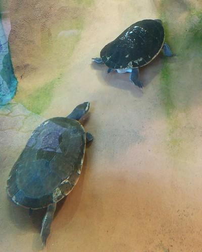 Turtles at swim #toronto #torontozoo #turtle #reptiles #latergram