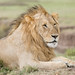 Male Lion - Panthera leo by rosebudl1959