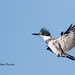 Belted Kingfisher approaching snag to land.