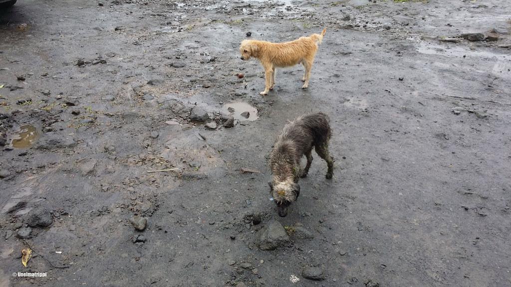Mutaisia koiria matkalla Arenalista Tortugueroon