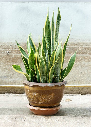 Top 5 House Plants - Snake Plant
