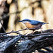 Nuthatch 8 dec 17 (3)