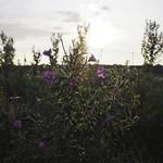 2017-09-18_18-27-49 - Weiße Süßlupine - Leguminose