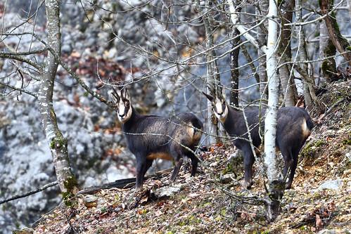 chamois des Alpes, Rupicapra rupicapra
