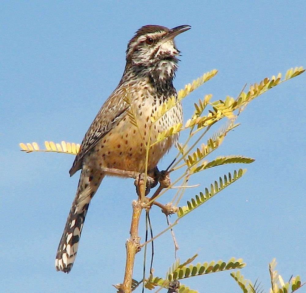 Cactus Wren (Campylorhynchus brunneicapillus), calling repetitively.