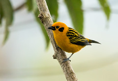 IMG_7187  Golden Tanager