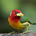 Red-Headed Barbet  by Christine Miller