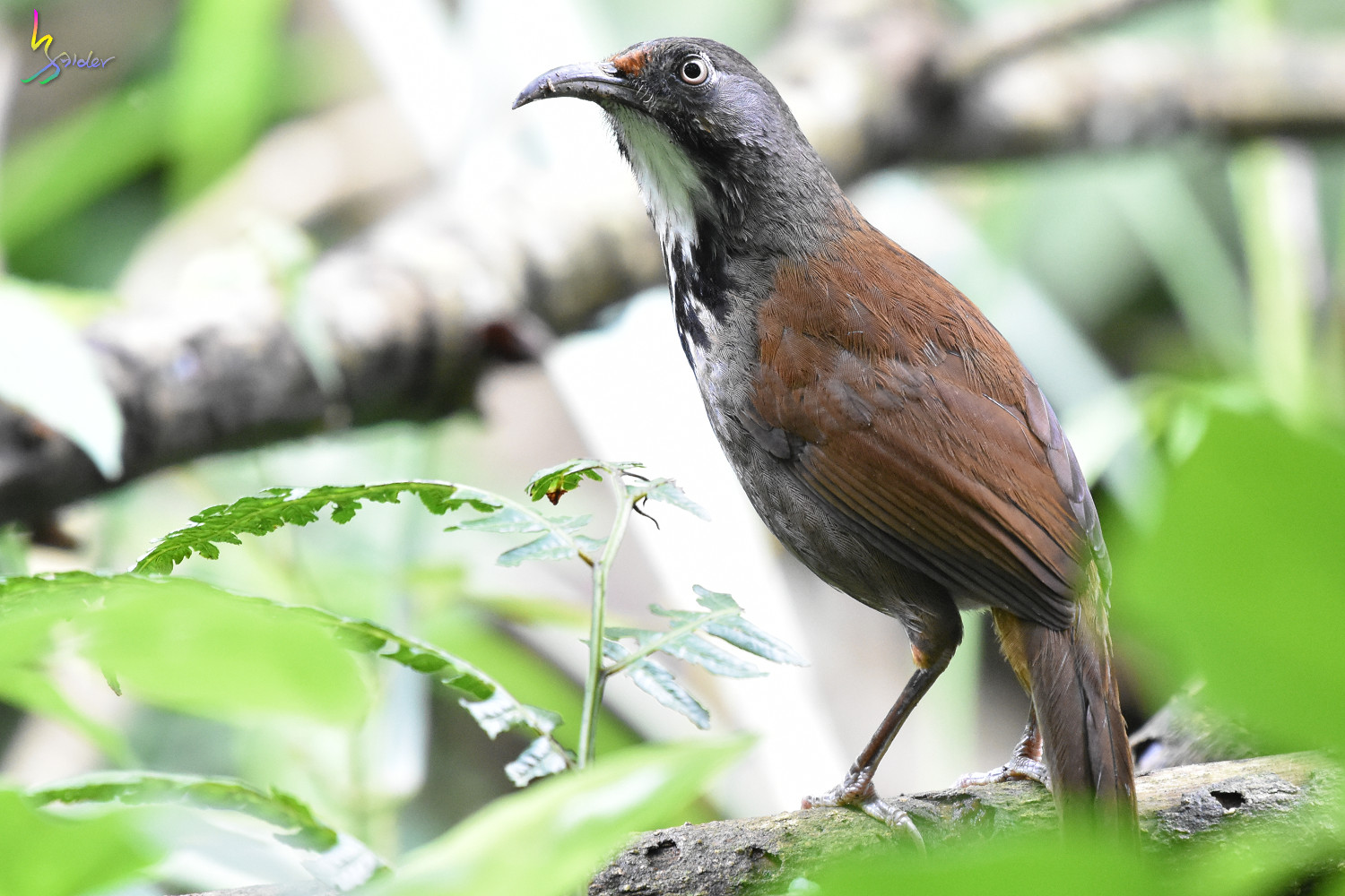 Rusty-cheeked_Scimitar-Babbler_0758