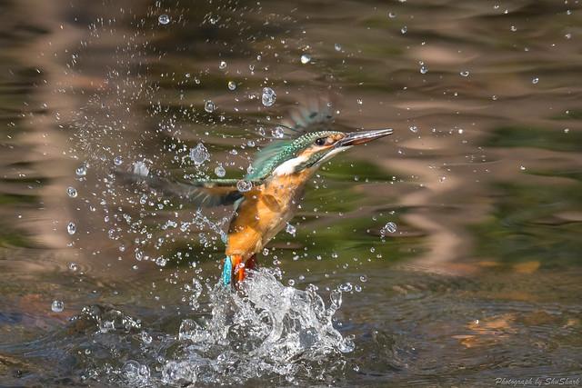 20171216-kingfisher-DSC_0725