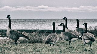 [2009] Canada Geese