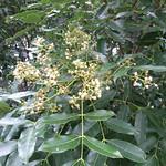 Khaya senegalensis flowers