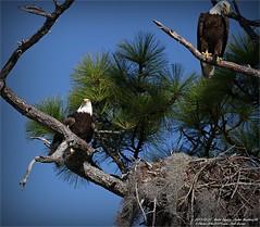 Bald Eagles shoot, 2013-12-22,Palm Harbor,Fl._IMG_2666_