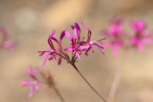 tuberous Pelargonium triphyllum in wild