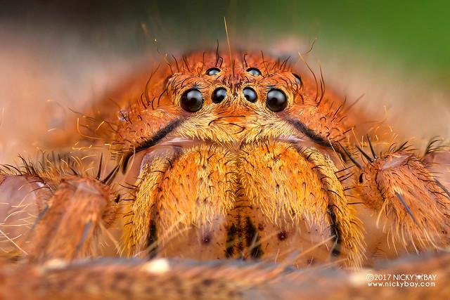 Huntsman spider (Heteropoda davidbowie) - DSC_4747b