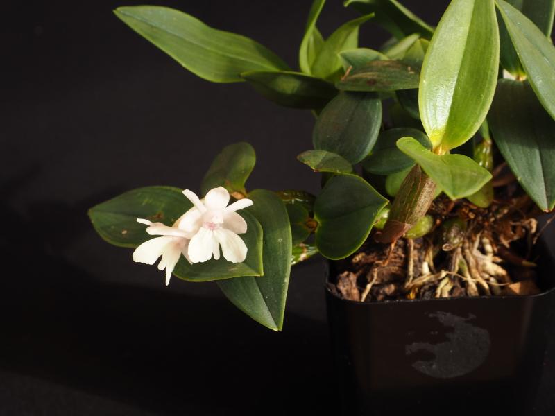 Dendrobium aberrans 39382265722_ddf4409d32_o