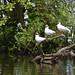 Black-headed Gulls: 3 chocolate heads