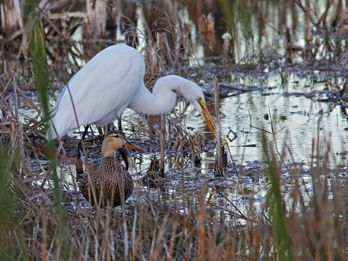 Great Egret with Mottled Duck 01-20180107