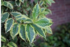 Diervillaceae