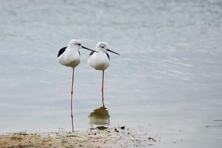 Black Winged Stilt - Yala National Park - Sri Lanka06818