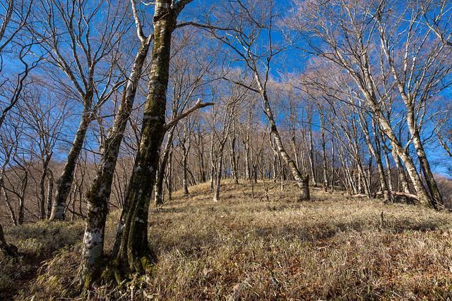 笹とブナ林の苦しい直登