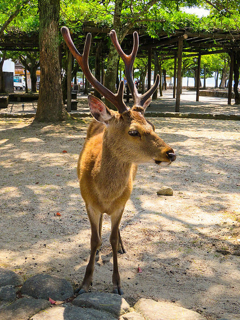 IMG_6511   Deer @ Miyajima Japan