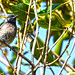 Kanha Red-vented Bulbul Pycnonotus cafer DSC_7019 by JKIESECKER