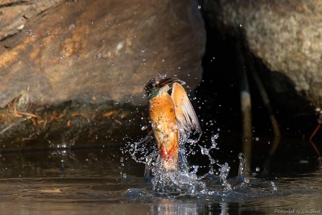 20180114-kingfisher-DSC_4414