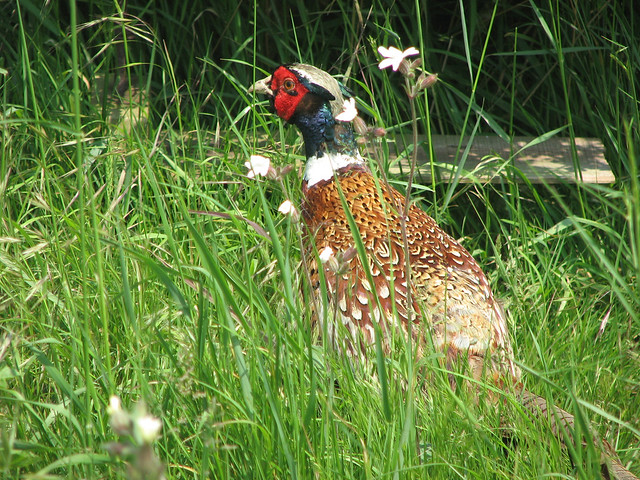 Pheasant at Fingringhoe Wick