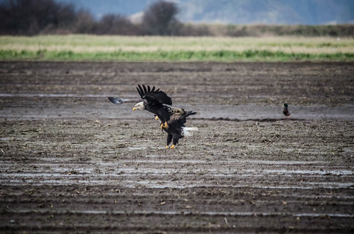 Eagles in Skagit Valley-009