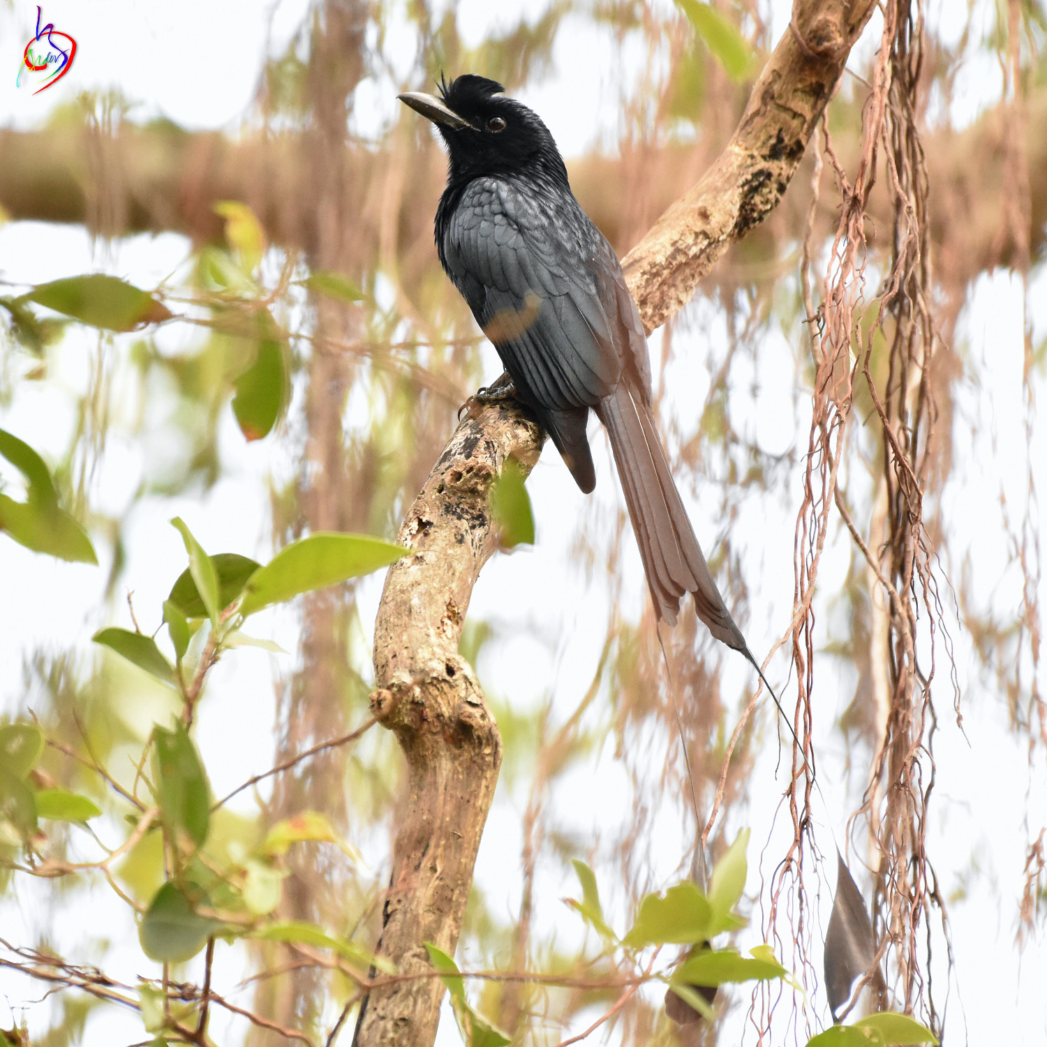 Greater_Racket-tailed_Drongo_3626