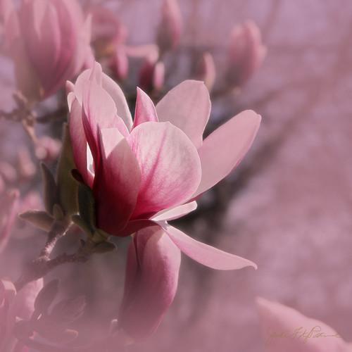 Magnolia Blossom - Explore #97