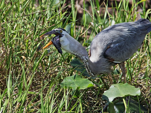 Great Blue Heron with Walking Catfish 004-20180209