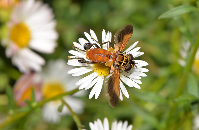 Trichopoda: feather-legged fly
