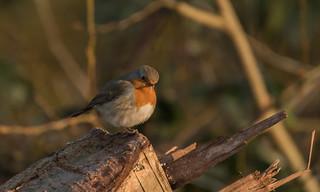 Rotkelchen / Robin