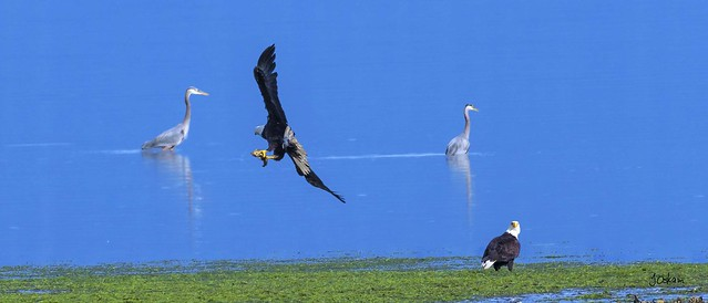 Eagles and Herons