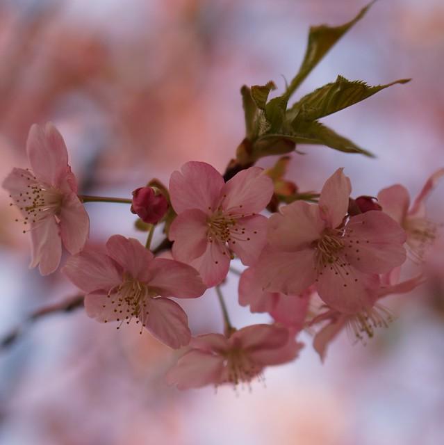 DSC07096三浦海岸桜まつり