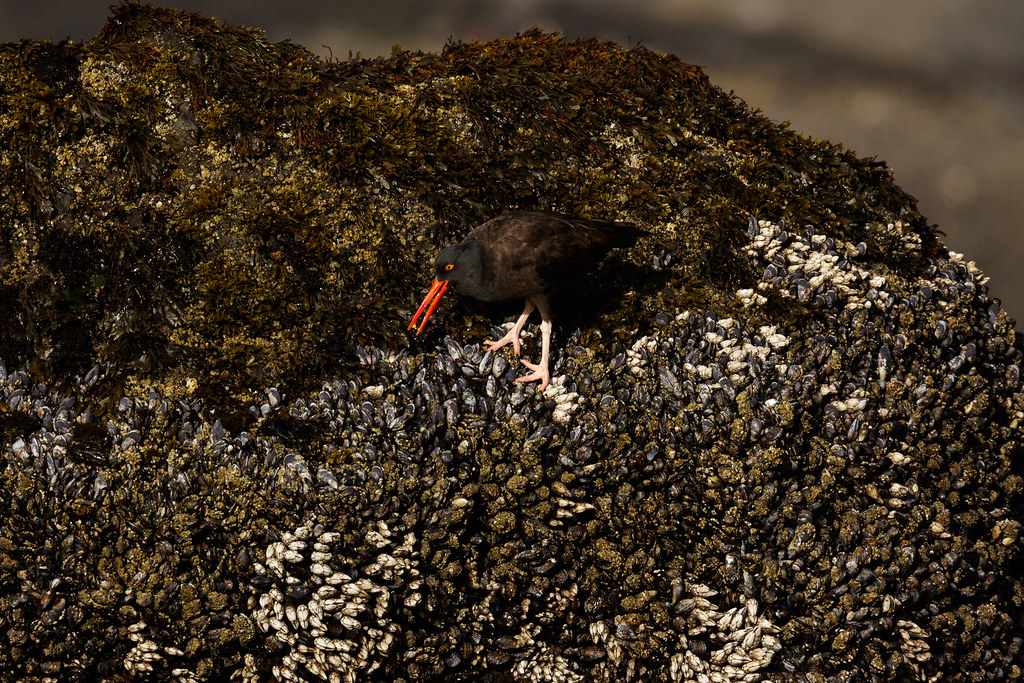 A black oystercatcher swallows the soft part of a snail it has extracted from its shell at Yaquina Head Outstanding Natural Area in Newport, Oregon