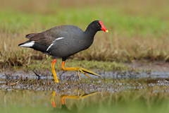 Hawaiian Gallinule / 'Alae 'ula / Common Gallinule (Gallinula galeata sandvicensis)