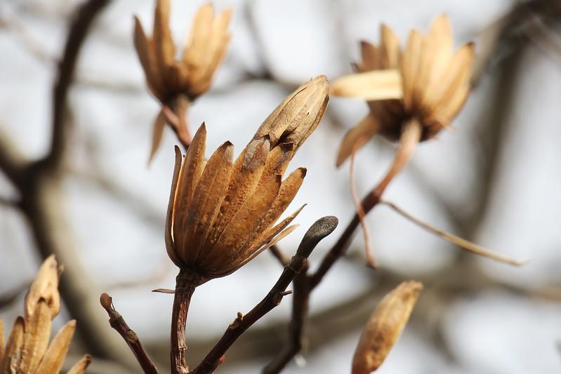 Liriodendron tulipifera (seed)   ユリノキ(実)