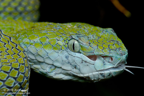 Trimeresurus hageni_MG_9441 copy
